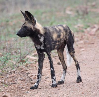 Wild dog, seen in the south of Kruger