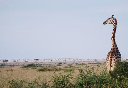 Savanah Giraffe