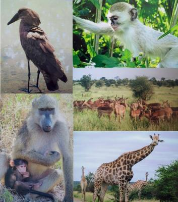 Clockwise: Hamerkop, vervet monkey, impala, giraffe, chacma baboon with baby
