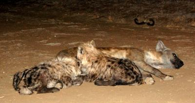 Hyena with pups