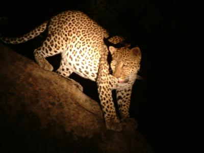 Kaingo - Leopard