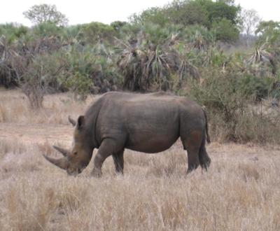 Rhino in South Africa