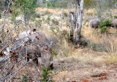 White rhino on walk