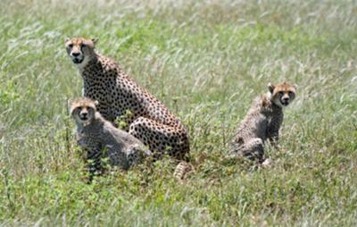 A cheetah mother and cubs in the Serengeti National Park.