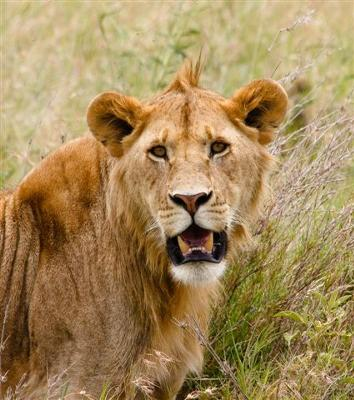 In full size, the eyes on the young male lion are absolutely mesmerizing.
