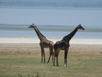 Griaffes at Lake Manyara