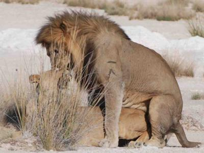 Lions mating in Etosha National Park