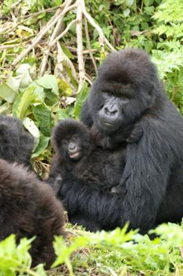 Mountain gorilla and baby