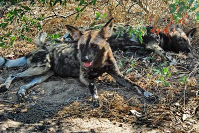 The endangered African wild dog