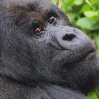 Gorilla from Rwanda