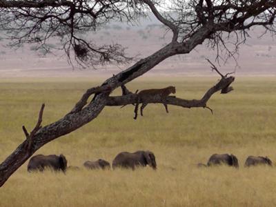 Leopard watching elephant