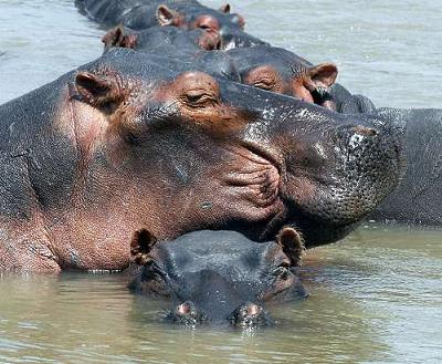 Pile of Hippo's