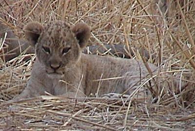 Zambia Lion Cub