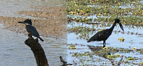 Giant Kingfisher and Open-billed Stork