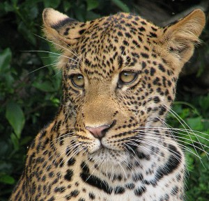 Leopards Abound in South Luangwa