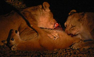 Lions Taking Down a Puku