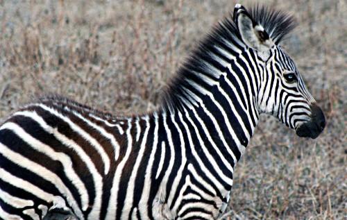 Zambia zebra