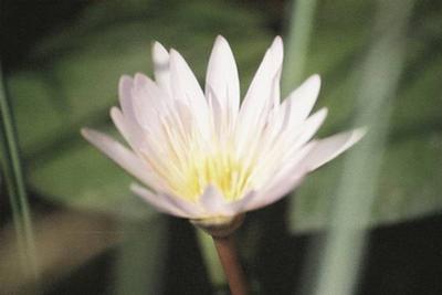 Water lily in the Okavango Delta